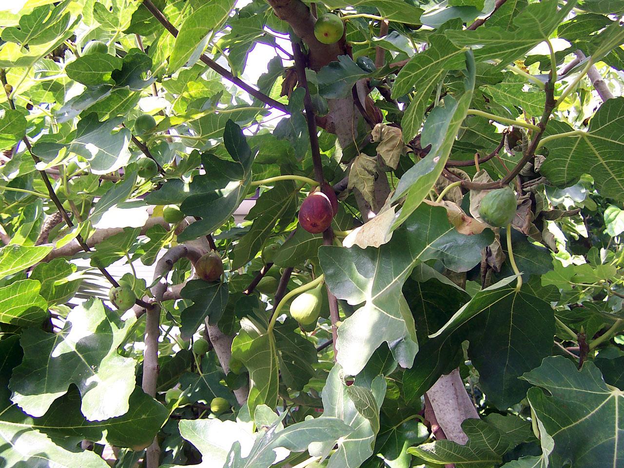 Cursed Fig Tree Matt 2118 22